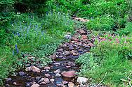 Wildflowers growing along Chinook Creek near Tipsoo Lake in Mount Rainier National Park, Washington State, USA