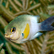 Bicolor Damsilfish inhabit patch reefs and areas of sand and coral rubble, in Tropical West Atlantic; picture taken Key Largo, FL.