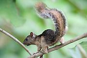 Montane Squirrel, Syntheosciurus brochus, Gamboa Reserve, Panama, Central America, Parque Nacional Soberania