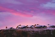 Sunset over a group of breeding gannets (Morus serrator), near Clifton, New Zealand Ⓒ Davis Ulands   davisulands.com