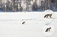 Fox hunting for lunch (with insets), Yellowstone National Park