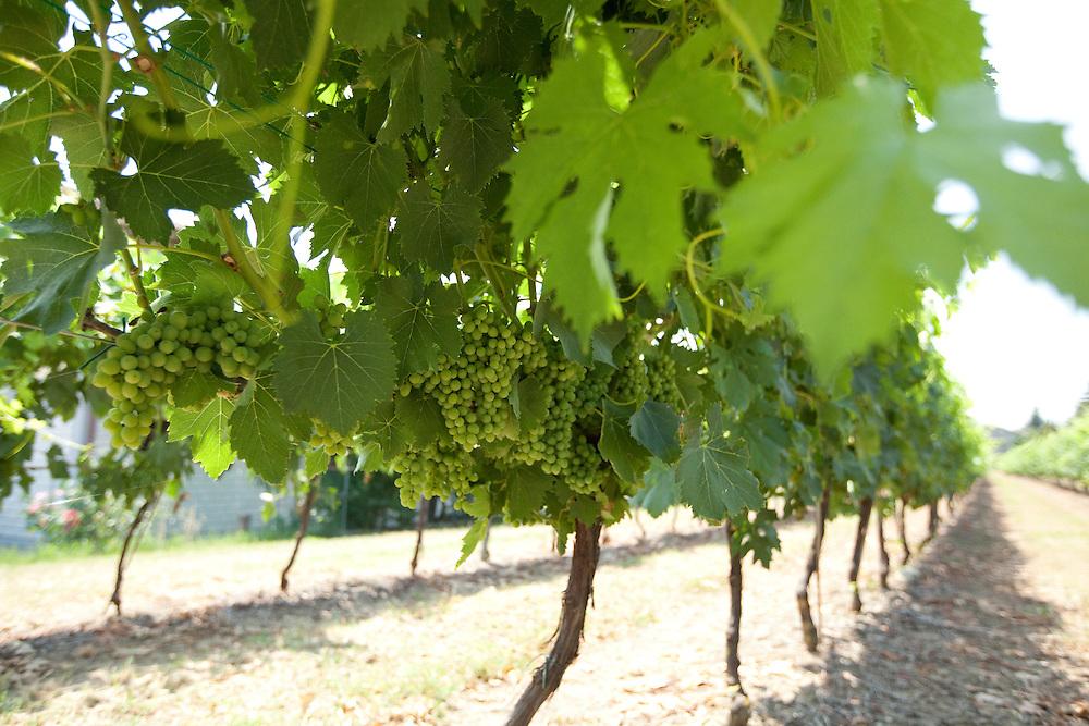 Vineyard in the Emilia Romagna region of Italy