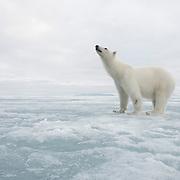 Polar bear (Ursus maritimus) in Svalbard, Norway.