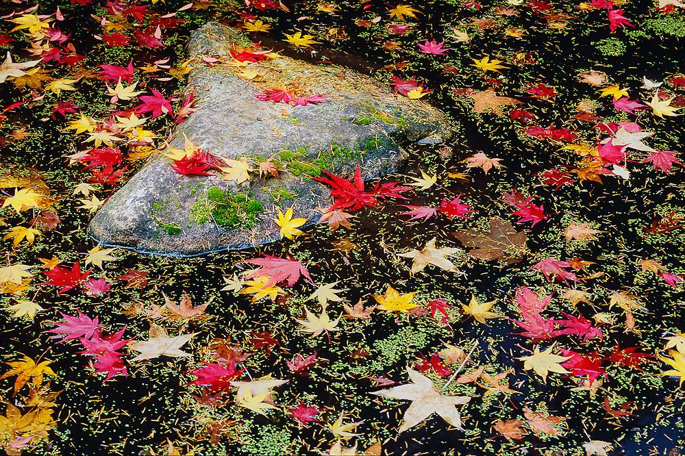 Pond design, autumn, Washington Park Arboretum, Seattle, Washington, USA