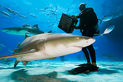 scuba diver with shark baits, lemon sharks, Negaprion brevirostris, and blue runner jacks, Grand Bahama, Bahamas, Caribbean Sea, Atlantic Ocean, MR 050807-GO