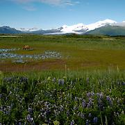 Alaskan Brown Bear (Ursus middendorffi) Adult walking in grassy wildflower field, scenic mountain background. Katmai National Park. Alaska. Spring.