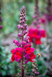 Antirrhinum Opus Red Beauty F1 with bee landing. Snapdragon