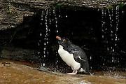Der pure Genuß für einen Seevogel ist die Gefiederpflege mit Süßwasser. Diese Felsenpinguine (Eudyptes chrysocome) haben sogar eine sonnige Großraumdusche, aber Luxus macht offenbar aggressiv: Nirgendwo sonst in der Felsenpinguinkolonie kommt es so oft zu Streitereien.  | What a seabird enjoys most is a freshwater bath. These rockhopper penguins (Eudyptes chrysocome) even have a huge sunny shower, but luxury seems to make quarrelsome: nowhere else in the rockhopper colony so much aggressive behaviour can be seen.