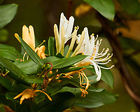 Honeysuckle. Sourland Mountain Preserve. Image taken with a Nikon 1 V3 camera and 70-300 mm VR lens.