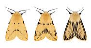72.019 (2061)<br /> Buff Ermine - Spilosoma lutea<br /> left=typical form<br /> middle= northern form<br /> bottom= aberrant form