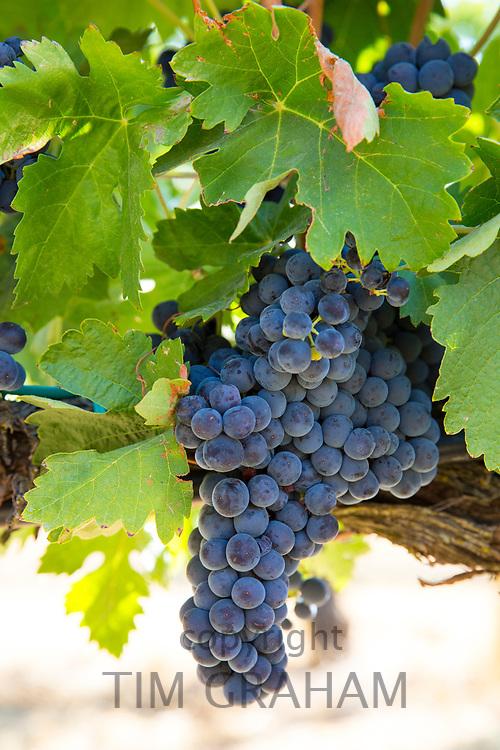 Tempranillo grapes at Finca Villacreces, Ribera del Duero wine production bodega by River Duero, Navarro, Spain