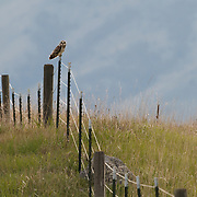 Short-eared owl (Asio flammeus) sitting on a fence post. Mission Valley, Ninepipe NWR, Montana