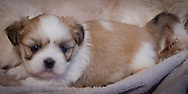 unnamed male Lhasa apso puppy five weeks old with his mother.