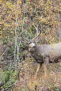 A buck mule deer rubs his antlers on an aspen tree during the fall rut.