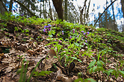 """Unspotted lungwort or Suffolk lungwort (Pulmonaria obscura) - one of many blooming spring flowers in undergrowth of broadleaved forest on slopes of river Ruņa, nature reserve """"Ruņupes ieleja"""" (dabas liegums """"Ruņupes ieleja""""), Kurzeme, Latvia Ⓒ Davis Ulands   davisulands.com"""