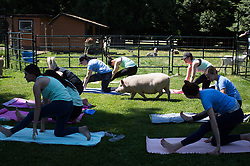 People participate in a yoga session with pigs during a charity fundraiser at The Happy Herd Farm Sanctuary, in Aldergrove, BC, Canada on Sunday June 24, 2018. The not for profit sanctuary held three yoga classes with four pigs on Sunday to raise money to help cover veterinarian costs. The pigs were born at the sanctuary when one of two neglected pot-bellied pigs seized by the SPCA unexpectedly gave birth to a litter of five after being taken in. Photo by Darryl Dyck/CP/ABACAPRESS.COM