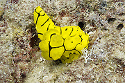 Minor Notodoris nudibranch - Agincourt Reef, Great Barrier Reef, Queensland, Australia. <br />