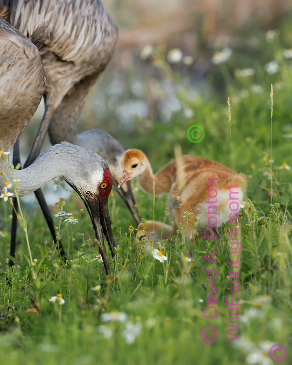 Sandhill crane colts wait near adult that is foraging in a lush green meadow in a wetland, Florida © David A. Ponton