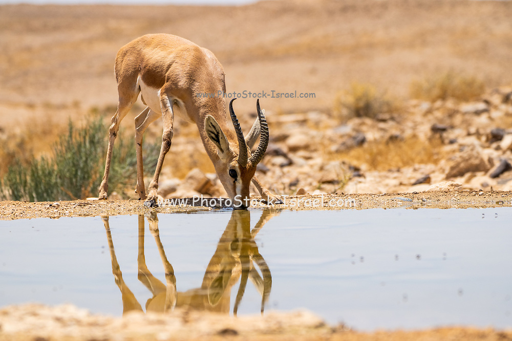The dorcas gazelle (Gazella dorcas), also known as the ariel gazelle, is a small and common gazelle. The dorcas gazelle stands about 55–65 cm at the shoulder, with a head and body length of 90–110 cm and a weight of 15–20 kg. Photographed in the Negev Desert, Israel in June