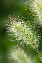 Pennisetum villosum AGM. Feathertop grass