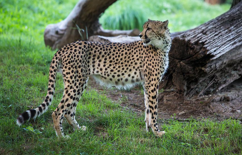 Cheetah in the Washington Zoo.