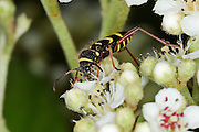 Wasp beetle collecting nectar from the flower of a Cotoneaster plant in an urban garden.
