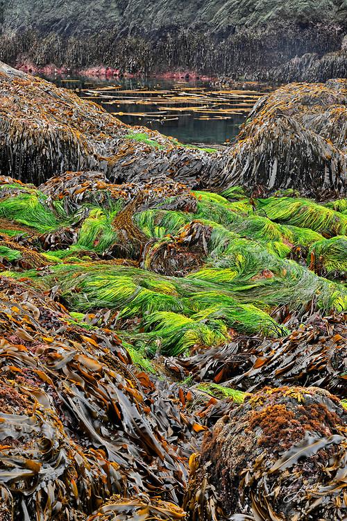 Interdial life exposed at low tide on Gordon Island- kelps, eelgrass, fucus and invertebrates, Haida Gwaii (Queen Charlotte Islands) Gwaii Haanas NP, British Columbia, Canada