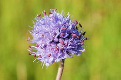 Blauwe knoop, Succisa pratensis