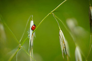 Coccinella septempunctata, the seven-spot ladybird on wild oats (Avena) Photographed in Israel in Spring