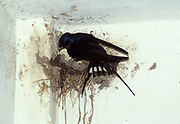 Swallow, Hirundo rustica, at nest feeding young chicks, in building eaves,.