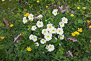 Spring and summer hedgerow wildflowers lesser celandine, Primroses, Primula vulgaris, dandelions, Salad Burdet in Cornwall