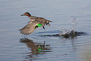 Male Green-Winged Teal Duck taking off with a splash (Anas crecca) Back Bay Reserve, California.