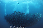 """Cape gannets, Sula capensis, leave """"vapor trails"""" of air bubbles as they plunge into a """"baitball"""" of sardines, Sardinops sagax, South Africa ( Indian Ocean )"""