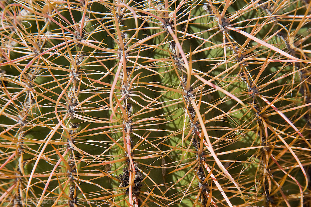 Barrel Cactus spines (Ferocactus) in the Anza Borrego Desert, California