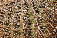 Barrel Cactus spines (Ferocactus) in the Anza Borrego Desert, California