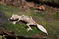 Leaf-tailed gecko, Antananarivo, Ranomafana National Park, Magical Madagascar. Wildlife photography prints