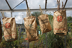 Trinity Organic Farm, Nottinghamshire - collecting seeds in sacks in greenhouse