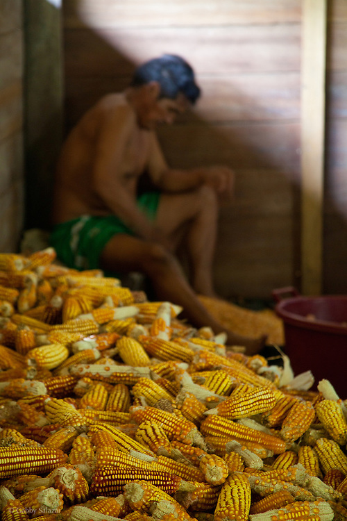 A man scrapes corn kernels off of dried ears in an Agriculture Concession on the banks of the Tambopata River. The owner of the land switched to sustainable agroforestry practices seven years ago. Instead of slash and burn agriculture, he plants two legume species throughout his fields, which replenish soil nutrients. This concession is in the buffer zone of the Tambopata National Reserve. A recent study projected that development from the new Interoceanic Highway will reach 50 km from the highway, thus deoforesting the buffer zone and reaching up to 20 kilometers into the reserve itself. Sustainable agroforestry practices are one method of preserving forest while supporting local livelihoods.