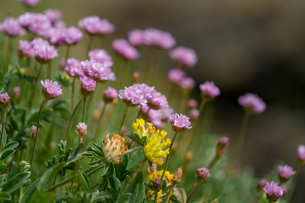 Sea pink along cliffs at Cadgwith England