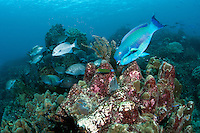 """A Parrotfish about to feed.<br /> <br /> Shot at Cape Kri, Raja Ampat Islands, W. Papua Province, Indonesia<br /> <br /> Cape Kri is one of the """"fishiest"""" dives in the world.  Given its protection in the Raja Ampat Marine Protected Area, as well as its proximity to a resort that does a great job of """"policing"""" the adjacent areas, this reef is among the healthiest in the Coral Triangle."""