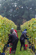A rain shower does not stop teh work, but hoods go up - Seasonal workers from Romania start picking the Pinot Noir grapes at the Redfold Vineyard which produces English Sparkling wine in East Sussex.