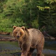 Grizzly bear in a stream, Montana. Captive Animal
