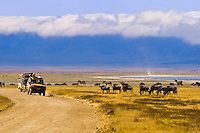 Safari vehicles observing large number of Blue Wildebeest (Gnu) and zebra, Ngorongoro Crater, Ngorongoro Conservation Area, Tanzania