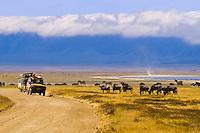 Safari vehicles observing large number of Blue Wildebeest (Gnu) and zebra, Ngorongoro Crater, Ngorongoro Conservation Area, Tanzania