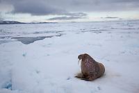 Walrus (Odobenus rosmarus)  hauled up on sea ice, Svalbard, Norway.