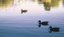 THEMENBILD - Enten am Ritzensee, aufgenommen am 29. September 2019 in Saalfelden, Oesterreich // Ducks at Lake Ritzensee in Saalfelden, Austria on 2019/09/29. EXPA Pictures © 2019, PhotoCredit: EXPA/ JFK