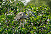 A juvenile great blue heron waits in the nest at Wakodahatchee wetlands, Florida.