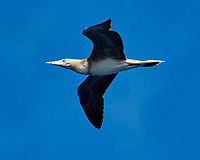 Brown Booby (white belly). Viewed from the deck of the MV World Odyssey. Image taken with a Nikon 1 V3 camera and 70-300 mm VR lens (ISO 160, 139 mm, f/7.1, 1/1000 sec).