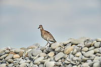 Willet (Catoptrophorus semipalmatus) perched on pebbles, Cherry Beach, Nova Scotia, Canada