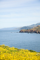 Wild Mustard blooming along the Marin Headlands. Golden Gate National Recreation Area. San Francisco, CA